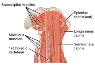 Multifidus muscle - Image: 1111 Posterior and Side Views of the Neck Deep Posterior