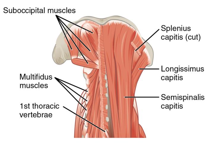 Multifidus Muscle Eanswers