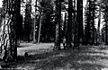 1926. Open stand of timber near Glass Mountain. Modoc National Forest, California. (38166082636).jpg