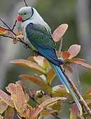 A white parrot with green-blue wings, a long blue tail, and a grey head with red bill