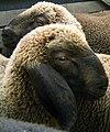 2006-09-12Braunes Bergschaf08.jpg