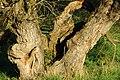 2007-10-20 (22)Tree, Baum Bingen Gaulsheim.JPG