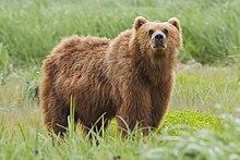 2010-kodiak-bear-1.jpg