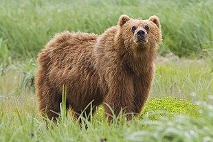 "Kodiak Bear at the <a href=""http://search.lycos.com/web/?_z=0&q=%22Kodiak%20National%20Wildlife%20Refuge%22"">Kodiak National Wildlife Refuge</a> in Alaska."