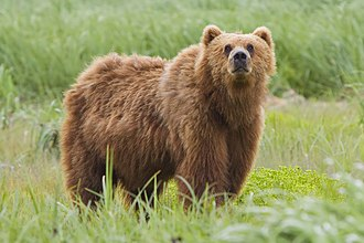 Brown bear - Kodiak Bear (U. a. middendorffi) at the Kodiak National Wildlife Refuge in Alaska.