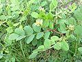 20110716-astragalus-glycyphyllos.jpg