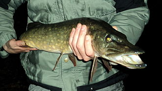 Northern pike - Northern pike caught with a fishing lure in Belgium