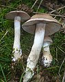2012-10-05 Cortinarius anomalus (Fr.) Fr 313479.jpg
