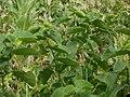 20120624Aristolochia clematitis4.jpg