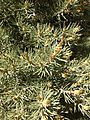 2013-06-27 14 53 47 Closeup of Single-leaf Pinyon foliage and pollen cones at 7600 feet along BLM Road 1526 on the northwestern slopes of Spruce Mountain, Nevada.jpg