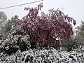 2014-05-06 09 35 27 Snow on a Crabapple and other trees in Lamoille, Nevada.JPG