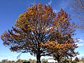 2014-11-02 12 04 34 Oak during autumn at the Ewing Presbyterian Church Cemetery in Ewing, New Jersey.JPG