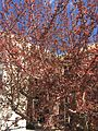2015-03-25 13 59 47 Early spring Crabapple foliage and flower buds on Idaho Street (Interstate 80 Business) near 9th Street in Elko, Nevada.JPG