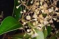 2015-11-13 ~ NSW - Mount Keira - Syzygium smithii.jpg
