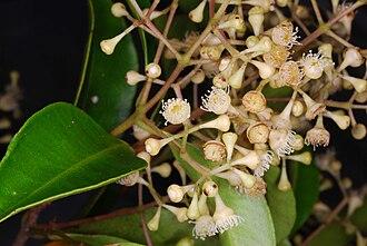 Syzygium smithii - Flowers of Syzygium smithii (Poir, 1789), Mount Keira, Illawarra region, New South Wales, Australia. Photographed mid-November 2015