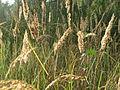20151004Calamagrostis epigejos1.jpg