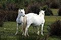 20170424 041 Camargue Paarden (34441904235).jpg