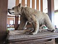 2018-02-24 (132) Taxidermied bear at Bäreneck at Gemeindealpe.jpg