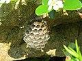 2019-06-07 (113) Polistes (paper wasp) with nest at Bichlhäusl, Tiefgrabenrotte, Frankenfels, Austria.jpg