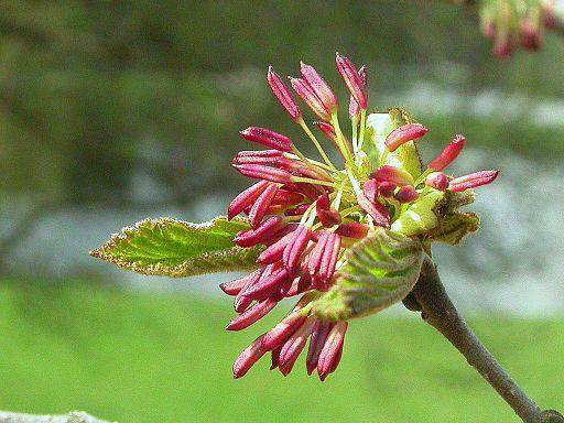 2127-Parrotia persica-Průhonice 4.06