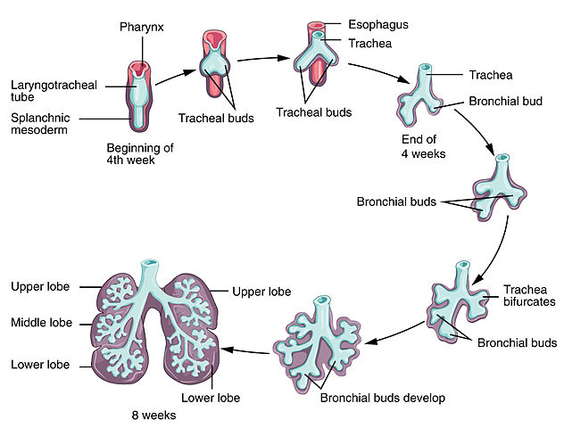 Respiratory System Flow Chart: 2328 Development of Lower Respiratory SystemN.jpg - Wikimedia ,Chart