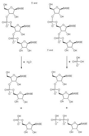 Exoribonuclease - Reaction diagrams for both hydrolytic (left) and phosphorolytic (right) 3'-5' exoribonuclease degradation of RNA.
