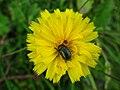 4895 - Mürren-Gimmelwald - Coleoptera on Sonchus.JPG