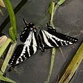 4a Butterfly (7533522926).jpg