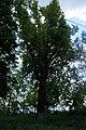 51-101-5018 «Дуб Лемме», м. Одеса, вул. Чорноморська,6.jpg