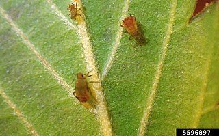<i>Rhopalosiphum rufiabdominale</i> Species of aphid