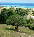 8 Rodrigues Screwpine -Pandanus heterocarpus - Rodrigues b.jpg