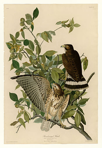 Plate 91 of Birds of America by John James Aud...