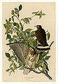 91 Broad-winged Hawk.jpg