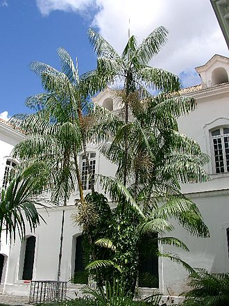 Açaí palm - Image: Açaizeiro no palácio