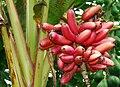 A-banana-vareity.jpg