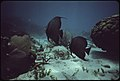 A-few-of-the-many-species-of-coral-and-marine-life-at-john-pennekamp-coral-reef-state-park-near-key-largo-the-fish-are-grey-angle-fish 4726903703 o.jpg