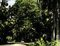 A Florida Forest (3248135074).jpg