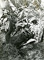 A Goose Chases the Photographer in the Zoological Gardens (BOND 0421).jpg