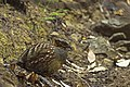 A Rufous Throated Partridge sits and rests in the bushes on a hot sunny day.jpg