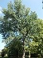 A Zárdakert legmagasabb fája, 2018 Zsámbék.jpg