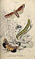A butterfly, a moth and a caterpillar in a meadow. Coloured Wellcome V0020758.jpg
