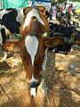 A calf in market.JPG