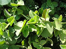 Category:Plectranthus - WikiVisually