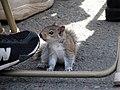 A confused adolescent squirrel (471706256).jpg