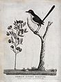 A female superb warbler sitting on a branch of a tree. Etchi Wellcome V0022337.jpg