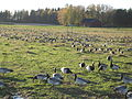 A flock of barnacle geese in Helsinki, Finland.jpg