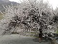 A giant Apricot Tree in Hunza Valley.jpg