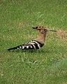A hoopoe (14855576091).jpg