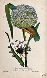 A leek (Allium ampeloprasum) and sandleek (Allium scorodopra Wellcome V0044066.jpg