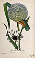 A leek (Allium ampeloprasum) and sandleek (Allium scorodopra Wellcome V0044066.jpg